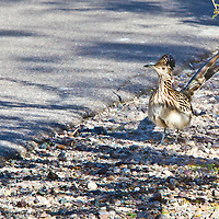 A Roadrunner pauses along the access road into the Sabino Canyon National Recreation Area, near Tucson, Arizona.