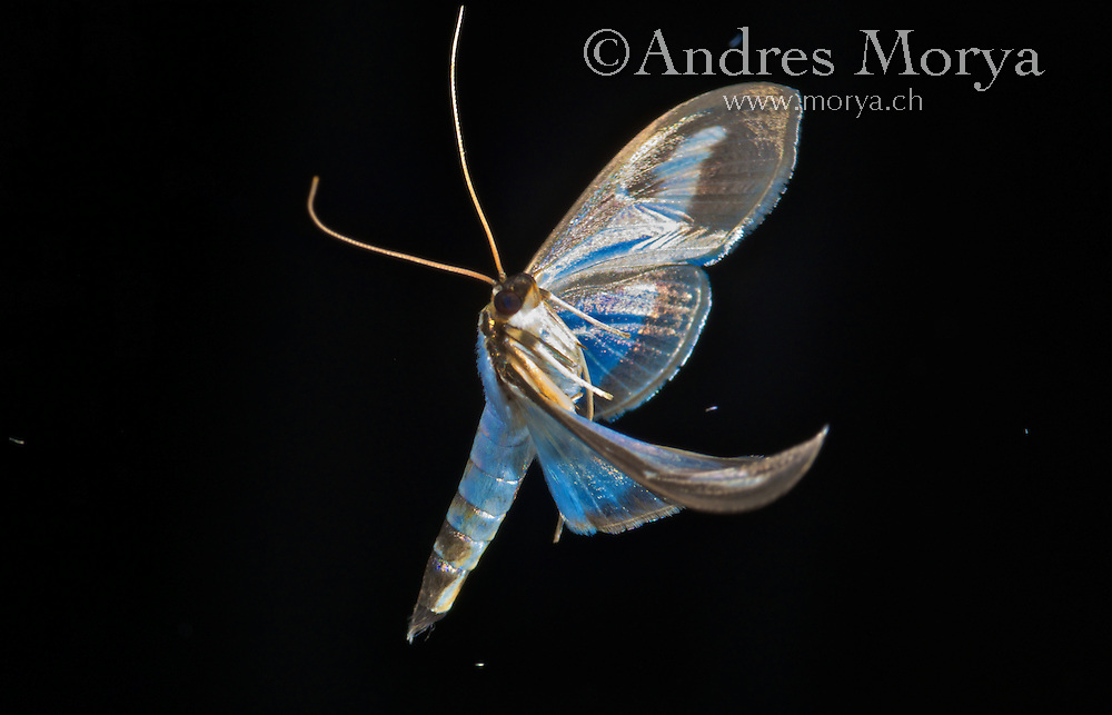European Moth in Flight<br />