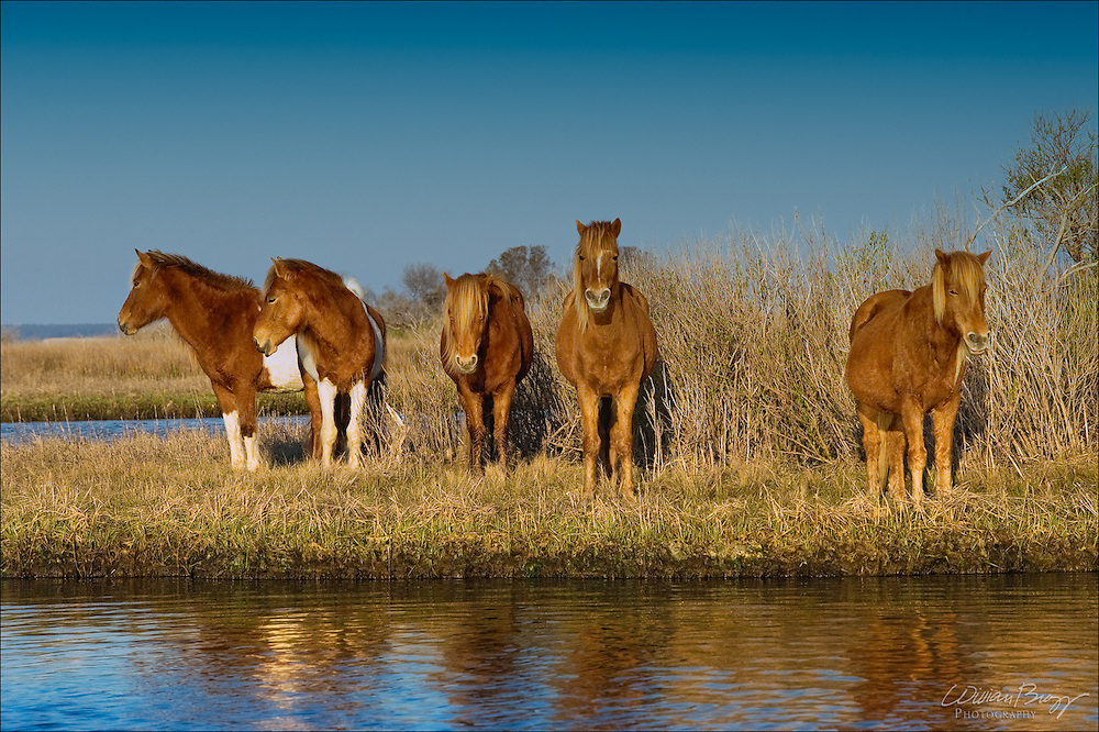 The Mares of Assateague