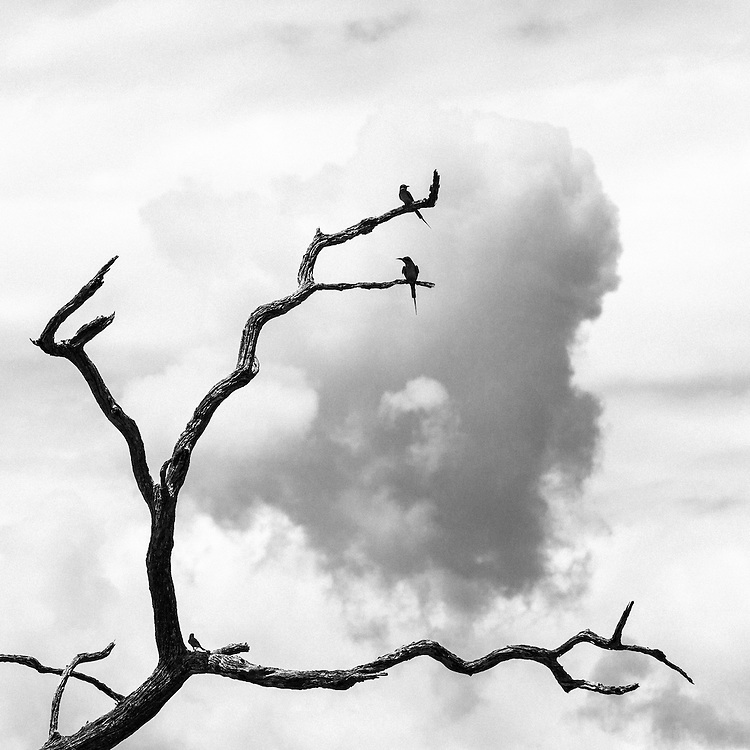 Birds on a dead tree branch, in black and white.