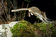 A bushy-tailed woodrat (Neotoma cinera) runs along scree - at night in Camp Creek Canyon in The Nature Conservancy's Zumwalt Prairie Perserve. NE Oregon.