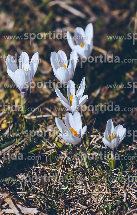 THEMENBILD - weiße Krokusse (Iridaceae) blühen auf einer Wiese, aufgenommen am 30. März 2019, Kaprun, Österreich // white crocuses (Iridaceae) blooming on a meadow on 2019/03/30, Kaprun, Austria. EXPA Pictures © 2019, PhotoCredit: EXPA/ Stefanie Oberhauser