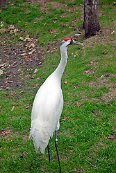 West Central Florida:  Whooping cranes in captivity at the Ellie Schiller Homosassa Springs Wildlife State Park.