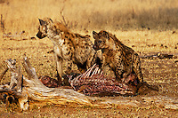 Two hyenas feeding at a kill, Zimbabwe, Africa. Fine art photography prints, nature photography wall art.