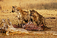 Animals, hyena couple feeding. <br />