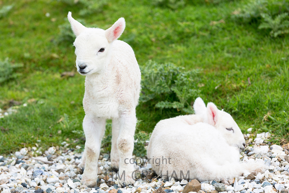 Lambs relaxing on warm pebbles, Isle of Skye, the Western Isles of Scotland, UK