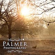 Winter Morning Deer in Richmond Park