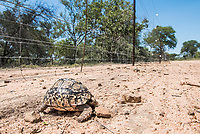 Leopard tortoise killed by an electrified boundary fence, Sabi Sands Wildtuin, Limpopo Province, South Africa