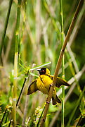 An African masked weaver amongst some reeds