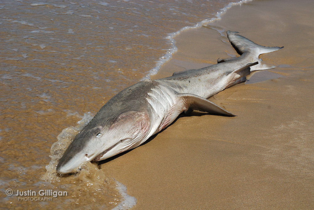 This emaciated grey nurse shark (Carcharias taurus) washed up on a beach and had several hooks embedded within its internal organs, photographed off One Mile Beach, New South Wales, Australia, Pacific Ocean.