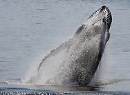 Wildlife Image - Humpback Whale Breaching