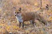 A Red fox walks stands in fallen leaves in a field.