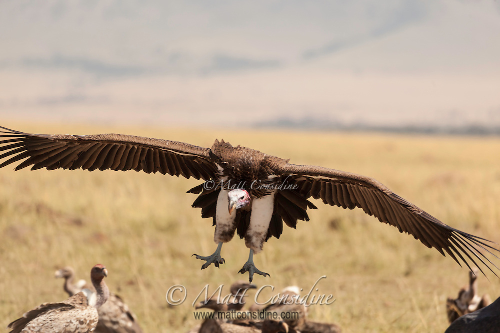 An African white-backed vulture on final approach, Kenya, Africa (photo by Wildlife Photographer Matt Considine)