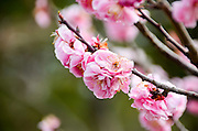 Close up of Cherry Blossoms in a Japanese Garden, Tokyo, Japan