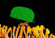 Leafcutter ant (Atta spec.) carrying a leaf fragment to nest | Blattschneiderameise (Atta spec.) traegt ihr Blatt ueber einen Pilz