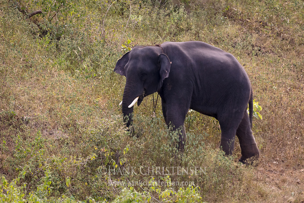 A captive elephant grazes on a hillside, Mudumalai National Park, India.
