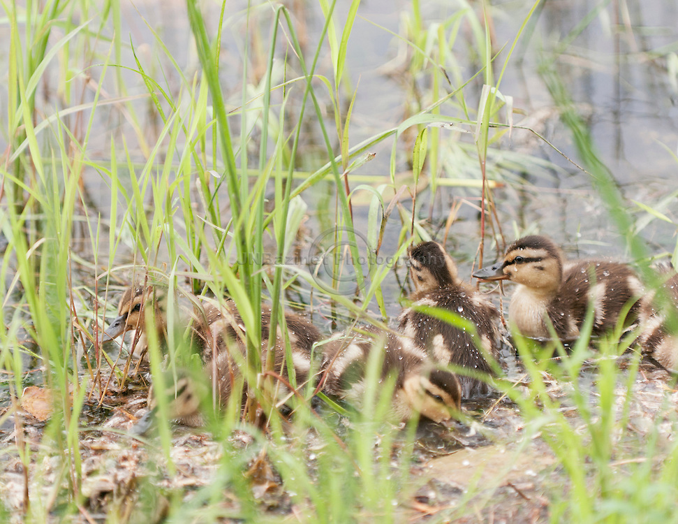 Huddled together, a group of young Mallard ducklings search for food among tall reeds in a lake.