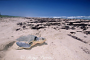 Kemp's ridley sea turtle, Lepidochelys kempii ( critically endangered species ), covers nest after laying eggs, Rancho Nuevo, Mexico ( Gulf of Mexico )