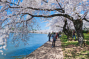 Spring, District of Columbia, Memorial Parks, National Mall, Tidal Basin, Sakura, Cherry Blossoms, trees, Washington DC