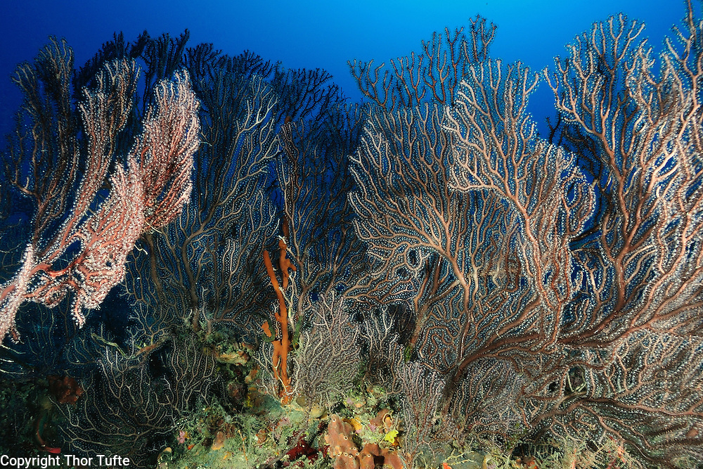 Deepwater Sea Fans. These are Octocorals (Gorgonians).
