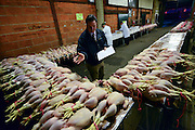 © Licensed to London News Pictures. 21/12/2012. Reading, UK Richard Dance the auctioneer, left, counts the birds before the sale begins. Auction house Thimbleby and Shorland holds its annual traditional christmas poultry sale today 21st December 2012 in Reading, Berkshire. Over 500 lots of fresh turkeys, chickens, geese and duck, all oven ready and rough plucked were available for sale. The general public in the UK are reported  to spend over 300 million GBP on turkey over the Christmas season.. Photo credit : Stephen Simpson/LNP
