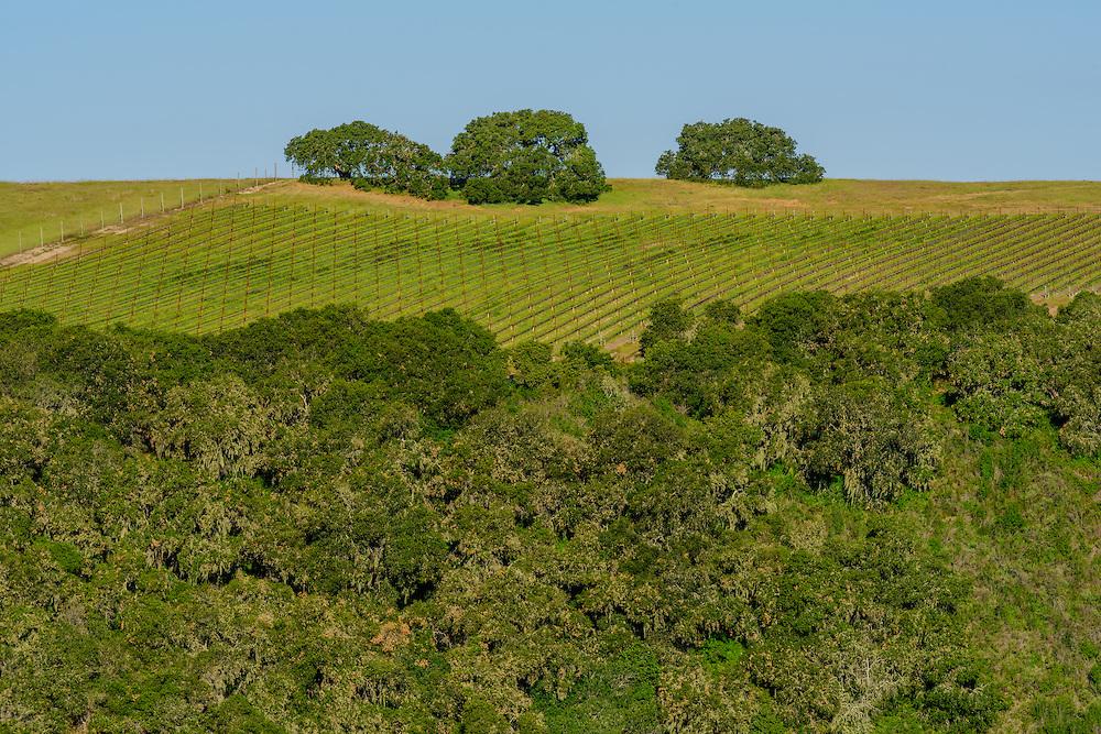 Vineyard, Carmel Valley, California