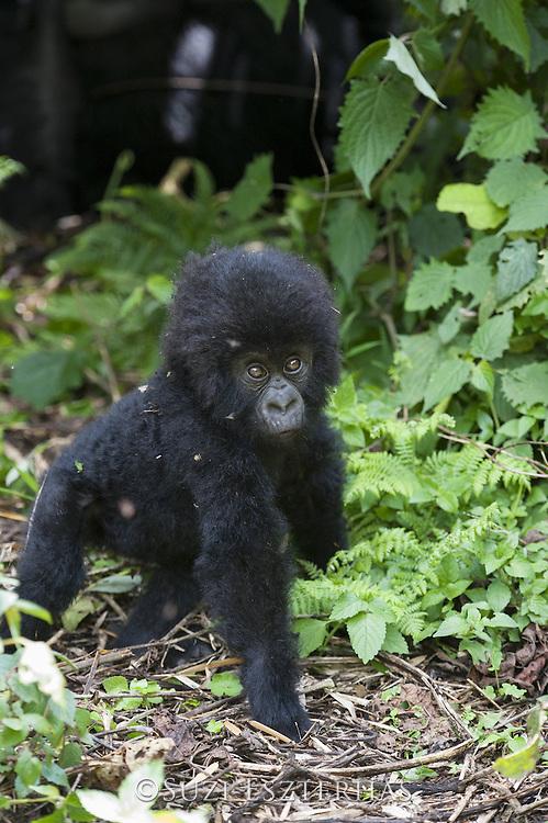 Mountain Gorilla<br /> Gorilla gorilla beringei<br /> One year old baby<br /> Parc National des Volcans, Rwanda<br /> *Endangered species