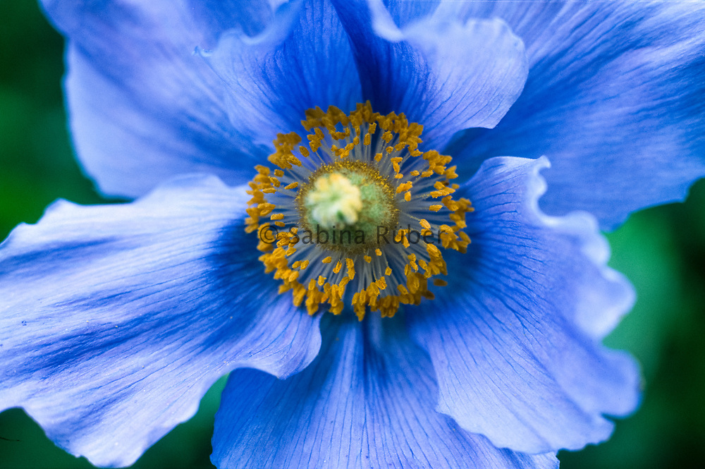 Meconopsis grandis - Himalayan blue poppy