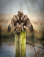Northern Harrier roosting a post in the Ridgefield National Wildlife Refuge in Southwest Washington State, USA