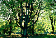 Beech trees (pollarded) in New Forest, Hampshire, England