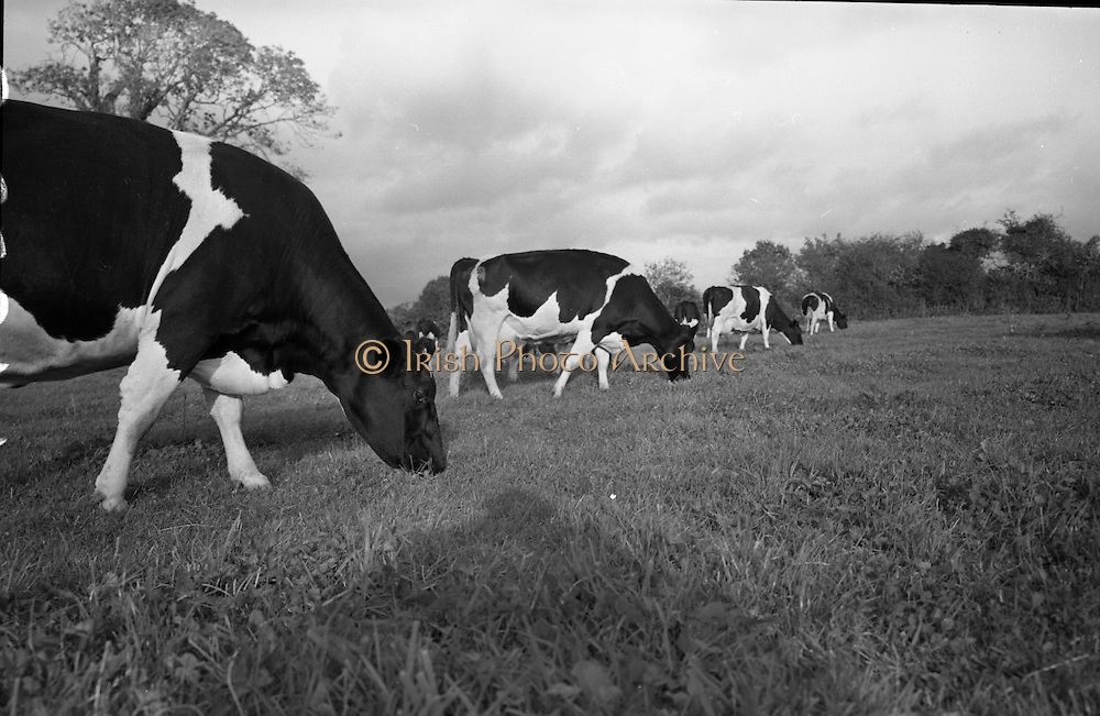 Farm Animals and People in Kanturk, Co. Cork and Castleisland, Co. Kerry. Mrs. O'Leary's herd..10.09.1965