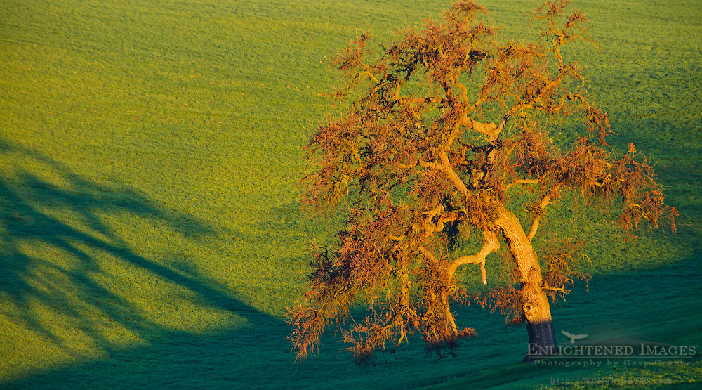 Morning light on Oak Tree & Green Hills, Thomas Hill Farms, Paso Robles, San Luis Obispo County, California