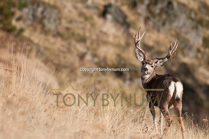 large mule deer bucks in grassy pine dry shrub fall season