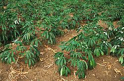 Malanga plants growing in field; Cuba,