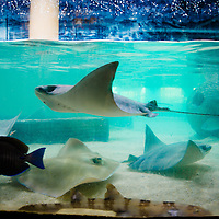 TAMPA, FL -- Rays swim in a tank at the Florida Aquarium in Tampa, Florida.  The aquarium boast numerous exhibits and ecosystems such as the Wetlands Trail, Bays and Beaches, Coral Reef, and Ocean Commotion.  (Photo / Chip Litherland)