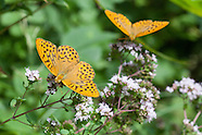 Argynnis paphia butleri - Silver-washed Fritillary
