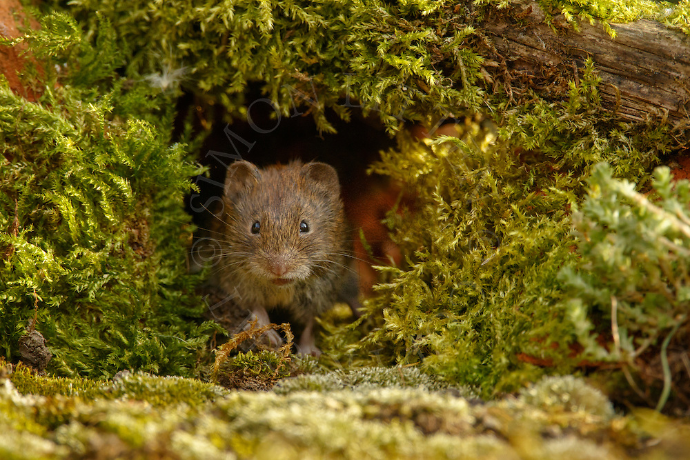 Bank Vole (Clethrionomys glareolus) adult emerging through gap in a pile of old moss-covered bricks, South Norfolk, UK. August.