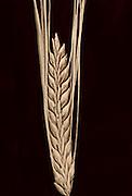 2_row barley