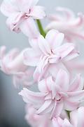Hyacinthus orientalis 'Rosette' double hyacinth
