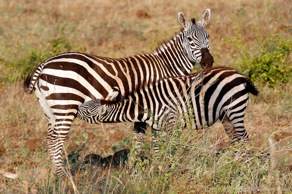 Africa, Kenya, Meru. Zebra mother nursing foal in Meru National Park.