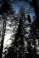 Great grey owl (Strix nebulosa) silhouetted in boreal forest, Oulu, Finland.