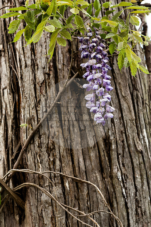 Wisteria vine blooming along the blackwater bald cypress and tupelo swamp during spring at Cypress Garden April 9, 2014 in Moncks Corner, South Carolina.
