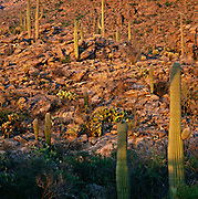 Sunset in Saguaro National Park, Arizona
