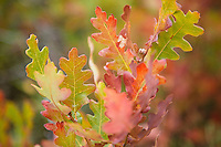 Oak leaves. Black Canyon of the Gunnison River National Park in southwestern Colorado.