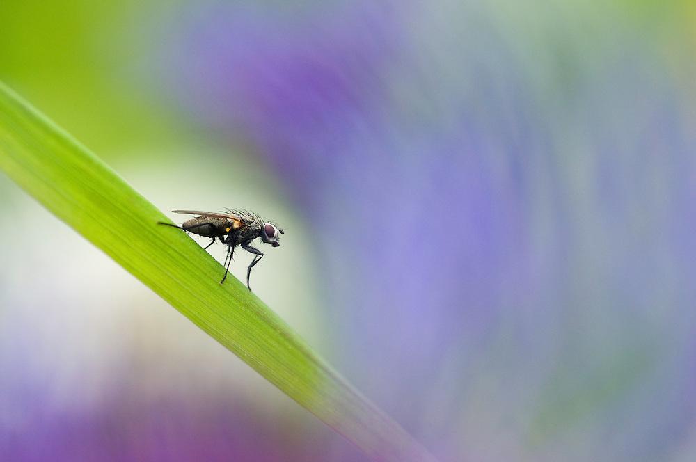 Fly; Fam. Diptera; Brachycera, near Malbun, Lichtenstein