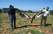 Scientist release a Griffon Vulture (Gyps fulvus) after ringing and measuring. Photographed in Israel