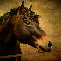 Jake, a stallion of the Percheron persuasion.<br />