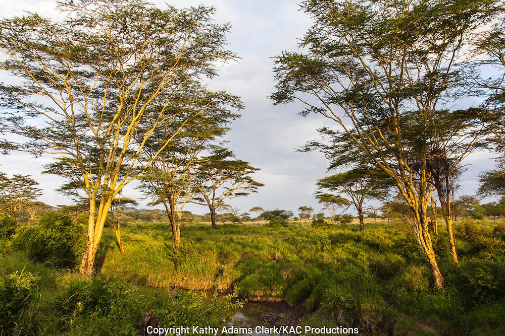 Yellow-barked acacia trees along a river, Acacia Xanthophloea, Serengeti, Tanzania, Africa.
