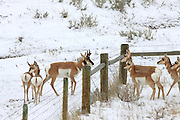 Pronghorn antelope separated by a fence in winter habitat. Fences are difficult for pronghorns to cope with since they cannot jump like deer and other ungulates.
