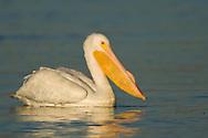 American White Pelican - Pelecanus erythrorhynchos - Adult in transition to breeding